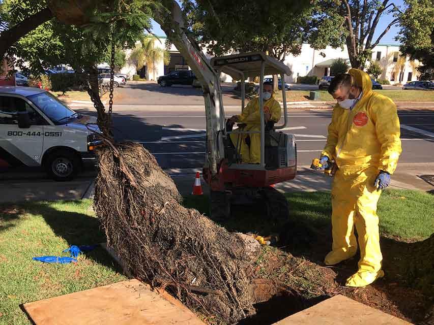 Excavating Tree Roots   Bonney Plumbing